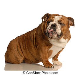 dog with attitude - english bulldog giving some really bad...