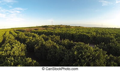 Top view of orange tree field with green oranges and power...
