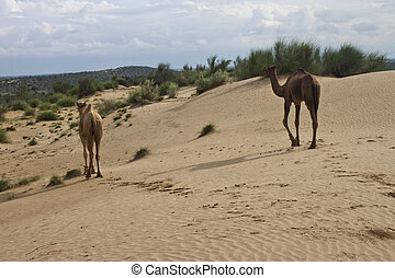 Two camels in desert dunes, India