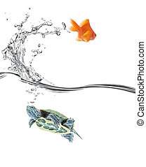 turtle in, goldfish out - goldfish jumping away while turtle...