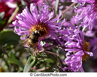 Busy Bee on a Violet Flower - A bee, busy to gather the last...