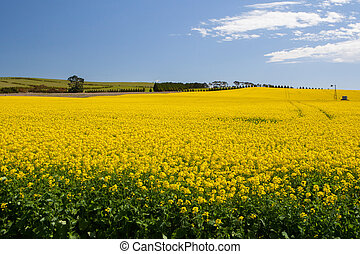 Canola Fields Near Creswick - Canola fields shine on a clear...