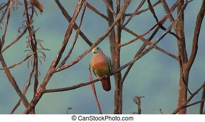 Pink Necked Green Pigeon 1 - A wild pink necked green pigeon...