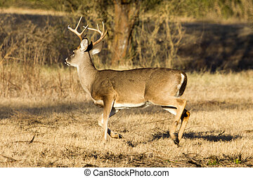 Whitetail buck - A whitetail buck making a hasty exit