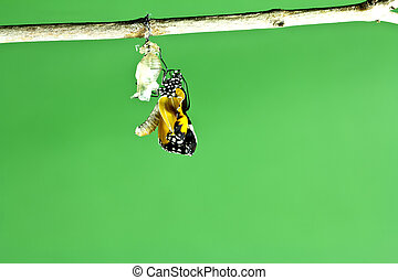 Monarch butterfly emerging from its chrysalis