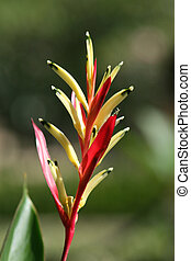 Heliconia Psittacorum, sometimes called Parrot Flower or...