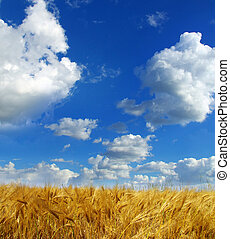 wheats spike - Wheats ears against the blue  sky