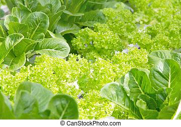 hydroponique, légume, ferme