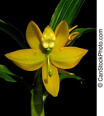Swan Orchid - Cycnoches Kevin Clarke