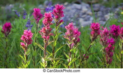 Magenta Paintbrush - Field full of magenta paintbrush Indian...