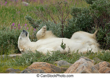 Wallowing under a bush 2 - Lazy Canadian Polar Bear...