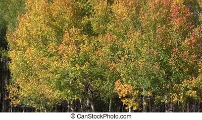 Aspen Grove in Fall - a golden aspen grove in fall