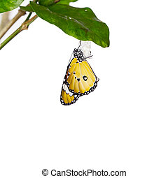 Monarch butterfly emerging from its chrysalis on leaf over...