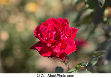 rose in nature