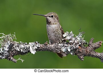 Annas Hummingbird Calypte anna on a perch