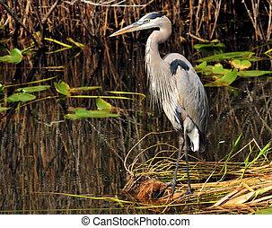 Great Blue - wetlands, bird, wildlife background, animals,...