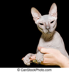 Sphinx hairless cat - Gray sphinx hairless cat in hands