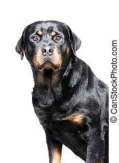 rottweiler dog - a rotweiler, a big but good and friendly...