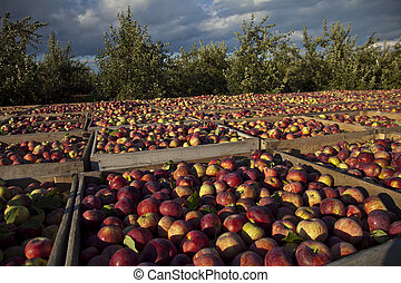 Apple Harvest - A bountiful harvest of apples near the...