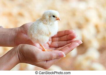 小雞, 藏品, 手
