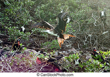 Flying Frigatebird - Frigatebird taking of near San Andres y...