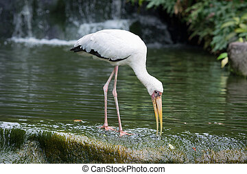 Milky Stork feeding in a lake - Milky Stork bird feeding in...