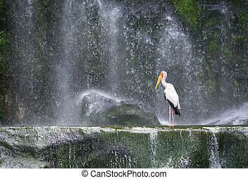 Milky stork in front of a waterfall - Milky stork bird in a...