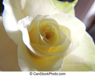 Rose jaune prise en macro