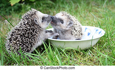 Kissing hedgehogs - Two hedgehogs kissing eath other