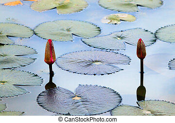 Water lily on a pond