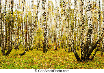 Birch grove in autumn - Landscape with birch grove overcast...