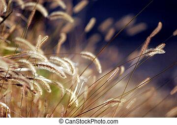 Autumn Grass in Sunset Light - Closeup of a field of mature...