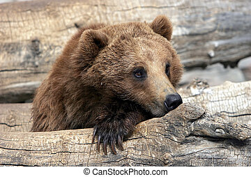 Grizzly Bear Relaxing - A young Grizzly Bear in captivity...