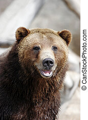 Grizzly Bear Smiling - A smiling Grizzly Bear stands in his...