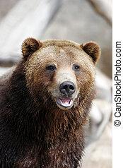 Oso pardo, oso, sonriente