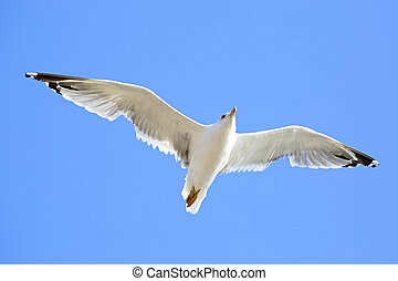 Sea gull flying in the blue sky.