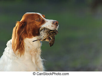 hunting dog holding in teeth snipe - hunting dog holding in...