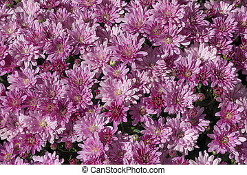 Mums - A Background Of Purple Flowers