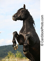 Angry black horse on pasturage - Angry black horse prancing...