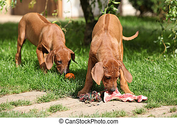Puppies with fresh bone in the garden