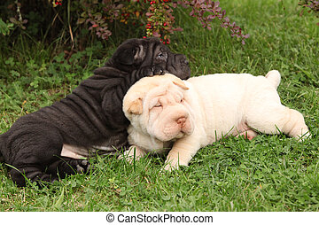 Two sharpei puppies lying together in the garden