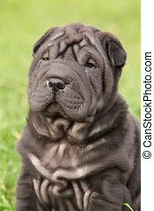 Beautiful sharpei puppy - Beautiful black sharpei puppy on...