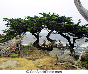 The Big Sur 2 - Trees close by to the Lonely Cyprus tree in...