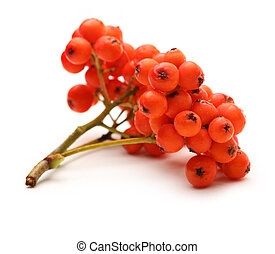 Red ashberry bunch on white