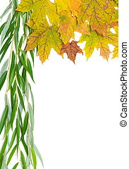 autumn maple leaves and willow branch on a white background...