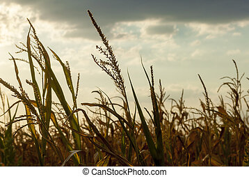 Corn Field in back light