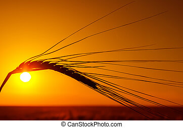silhouette of wheat and orange sunset