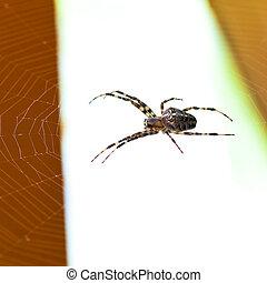 spider at cobweb - Araneus spider at cobweb close up