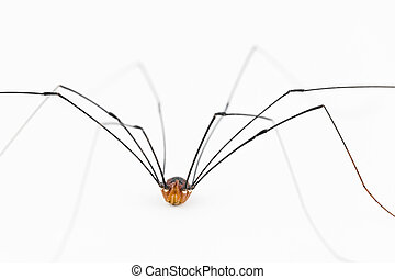 Close up of harvestman spider - This oplliones is an...