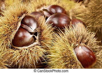 Fresh shiny chestnuts in husks - Fresh shiny chestnuts with...